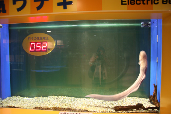 電気ウナギ