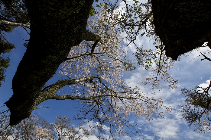 野見金公園 桜